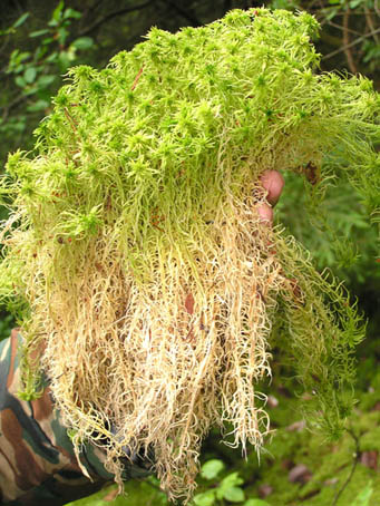 Мох сфагнум или губчатый мох.