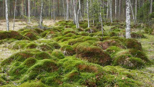 Болотный мох.