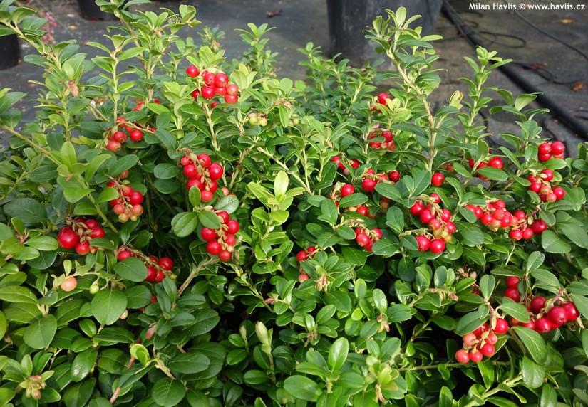 Сорт брусники Ред Перл обладает высокой урожайностью
