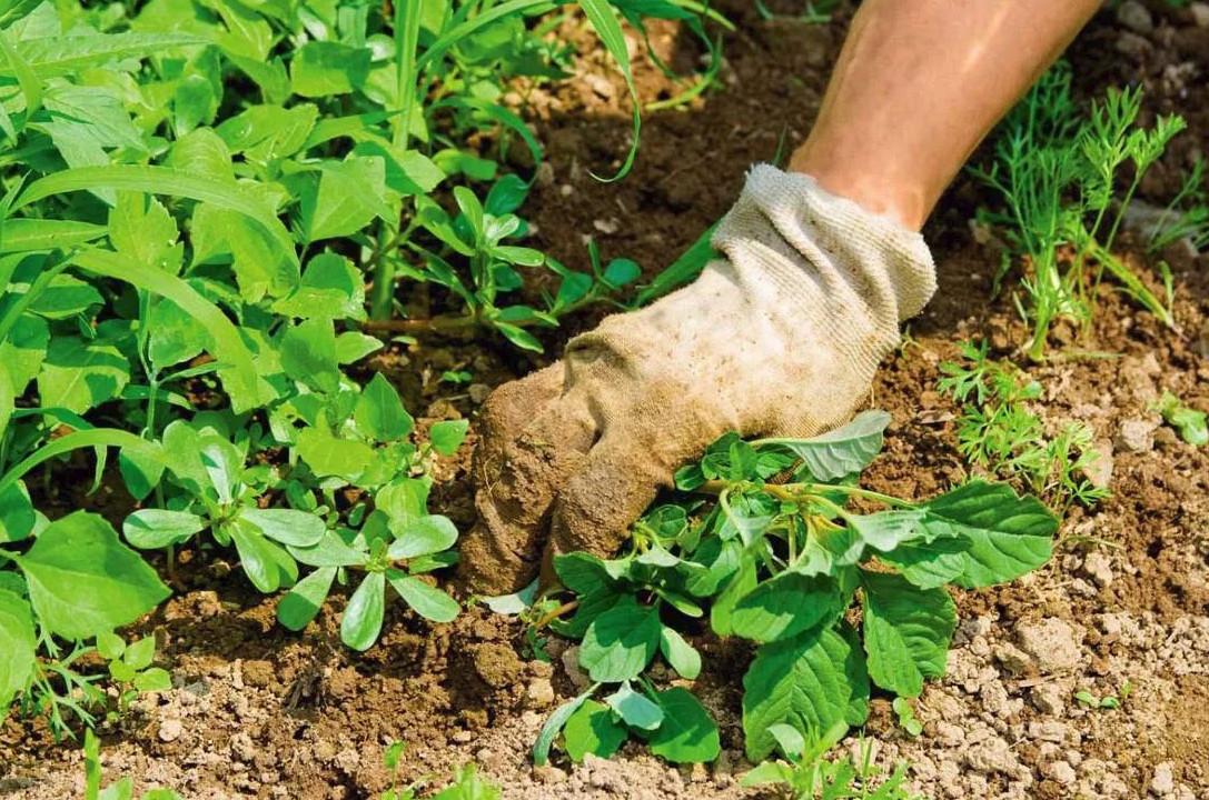 Прополка сорной травы около брусники должно производиться регулярно