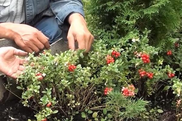 Обрезка ветвей кустарника служит для размножения