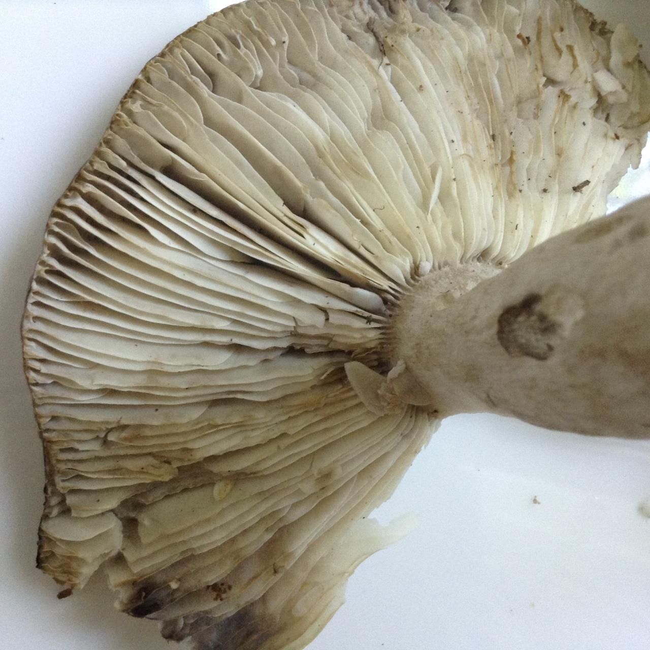 Выращивание грибов спорами из шляпки лесного гриба