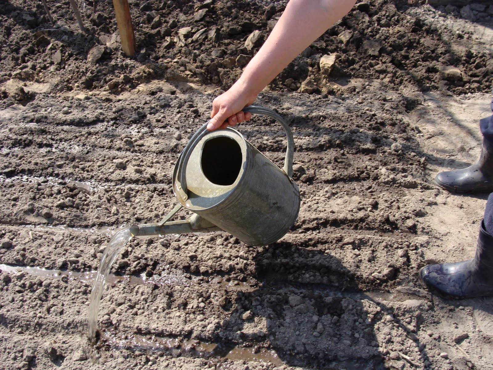 Разбавленной закваской поливаем выбранное место для выращивания грибов