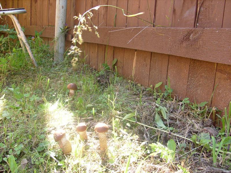 С помощью готовой смеси можно на дачном участке вырастить лесные грибы