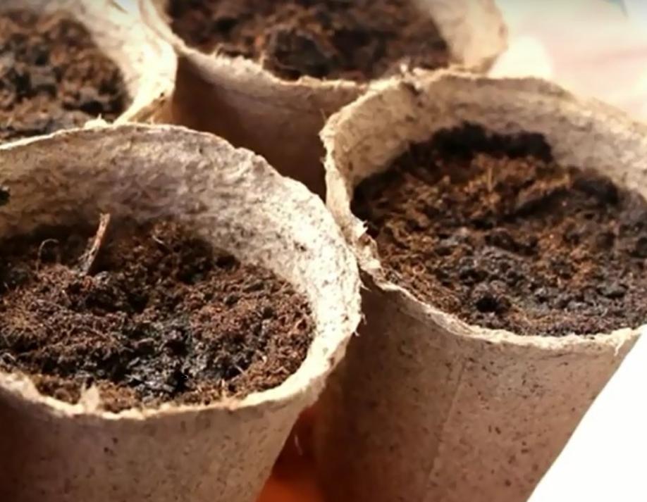 Можно ли выращивать чернику в домашних условиях?