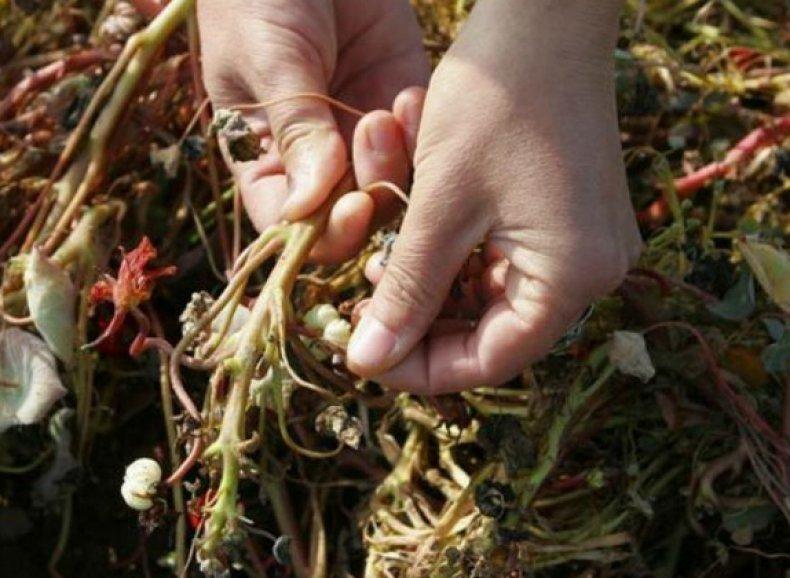 Собираем семена натурции