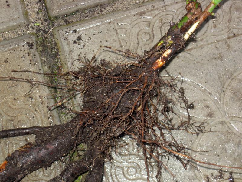 корни розы фото только одну деталь