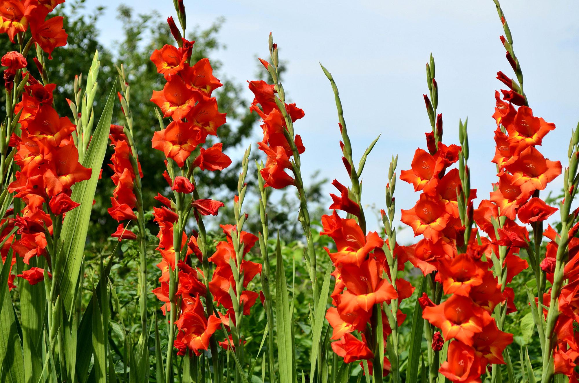 Гладиолусы цветут красным цветом