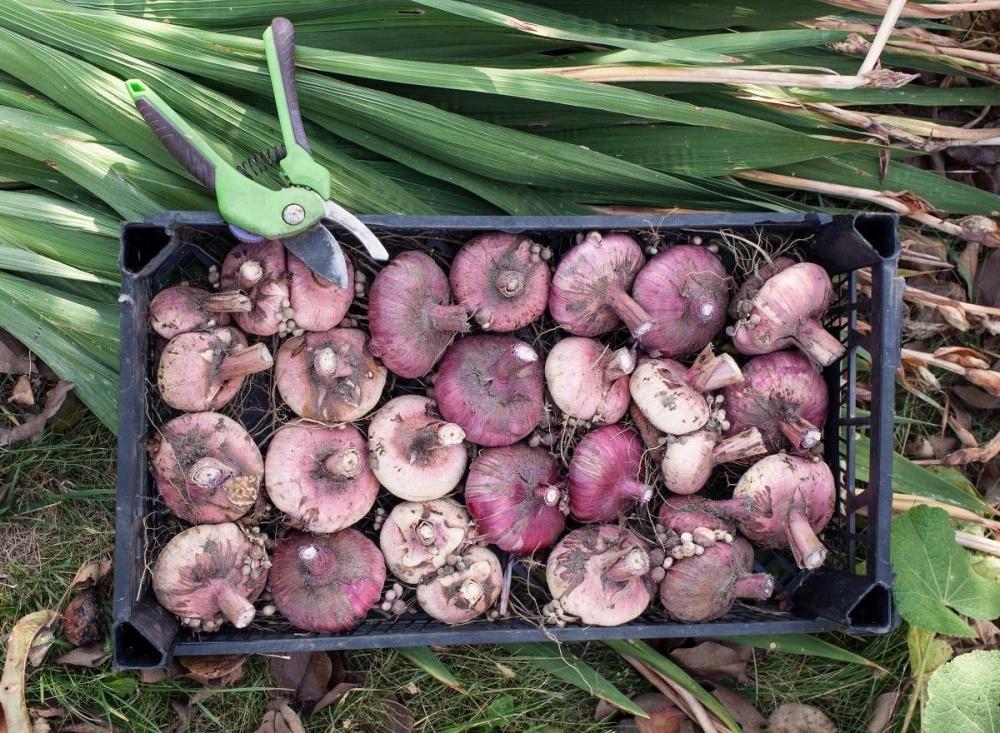 Луковицы после выкапывания нужно отделить от земли и обработать
