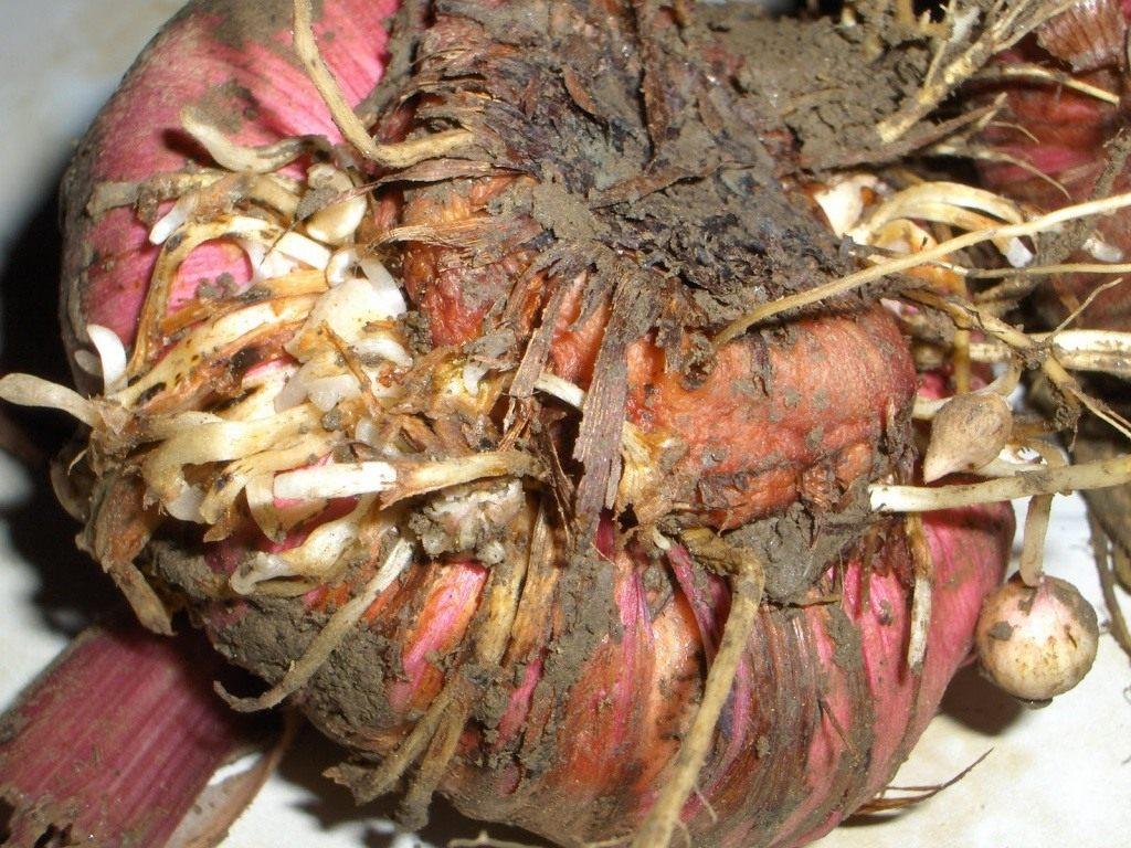 Дети луковицы гладиолусов должны легко отделяться