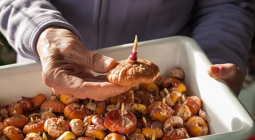 Хранение луковиц гладиолусов в пластиковом ящике в подвале