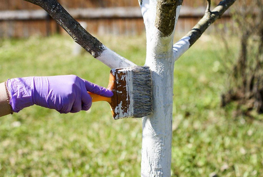 Белить деревья нужно в октябре