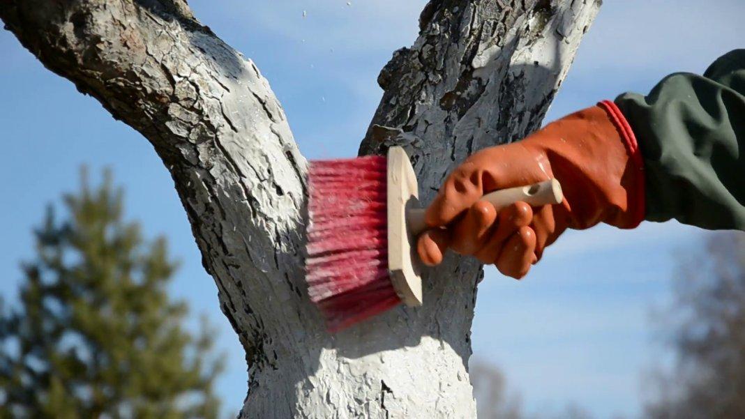 Белить деревья привыкли мягкой кистью
