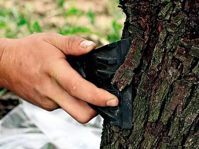 Самой первой задачей стоит очистка коры деревьев от лишних наростов в виде мха