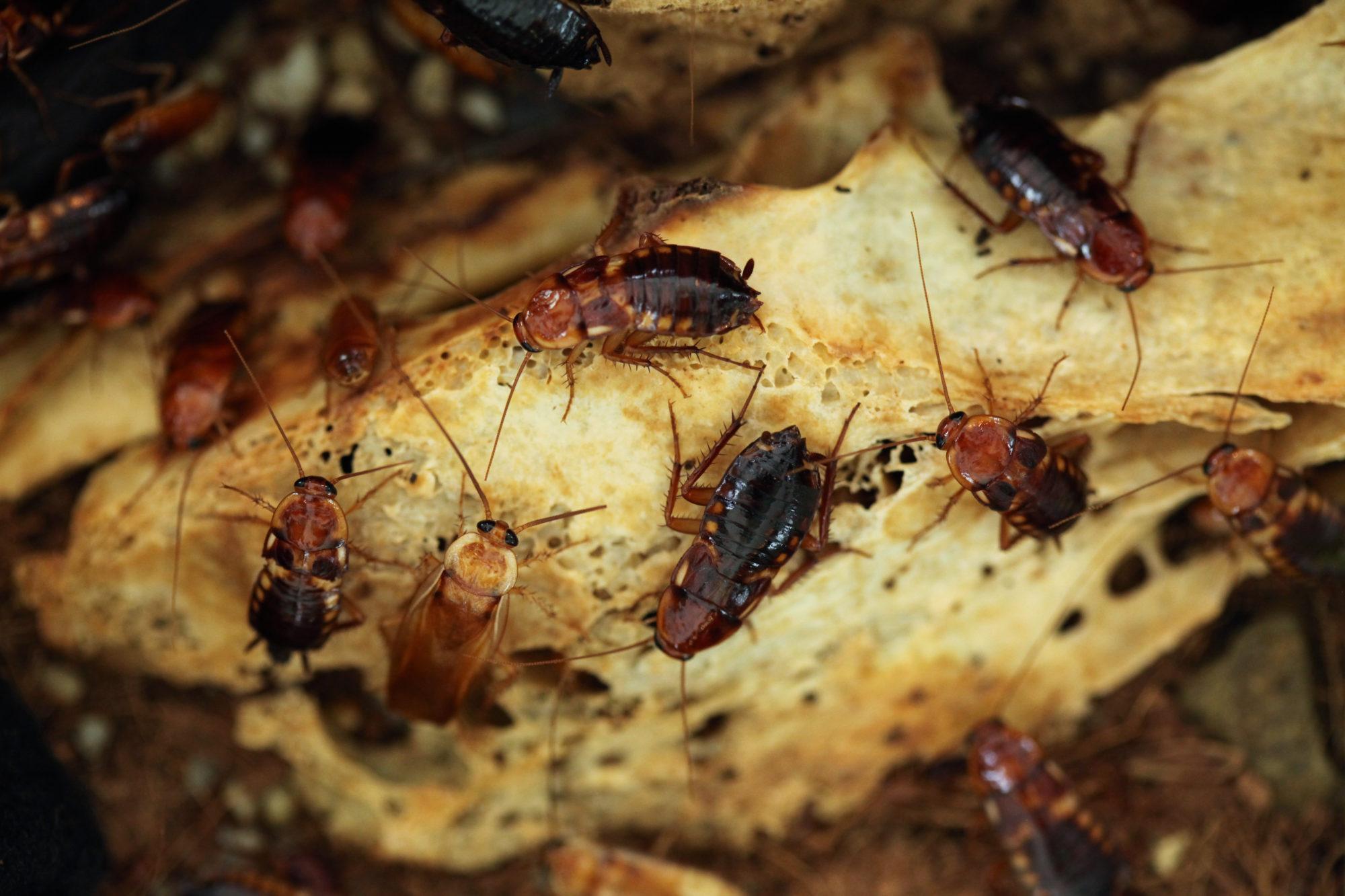 Тараканы быстро размножаются, поэтому бороться с ними надо сразу после того как обнаружили