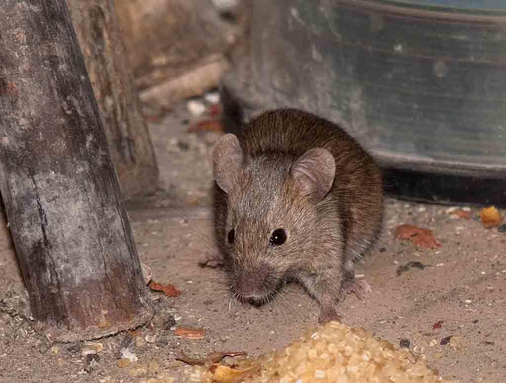 Завелись мыши на даче