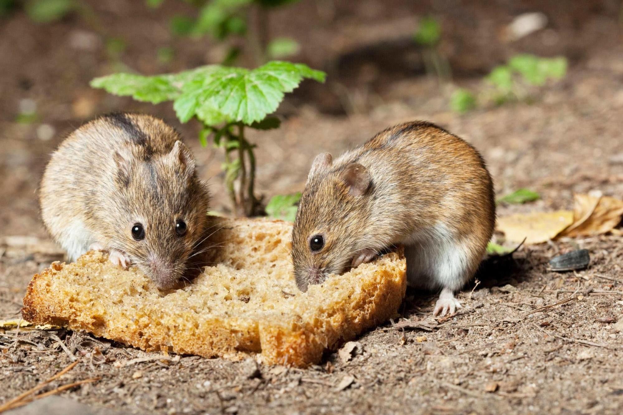 Маленькие мыши могут съесть в год до 12 кг продуктов