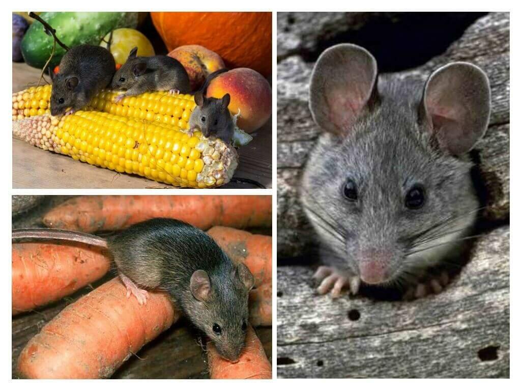 Мыши и крысы могут уничтожить запасы урожая