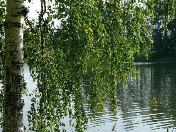 Фото плакучей березы вблизи водоема – подходящее дерево для сбора сырья