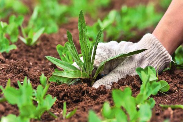 Сорняки среди культурных растений