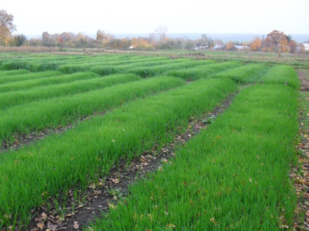 Овес сеют после сбора урожая и оставляют до весны