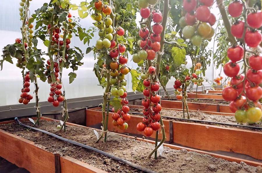 Сбору урожая капельный полив совершенно не мешает