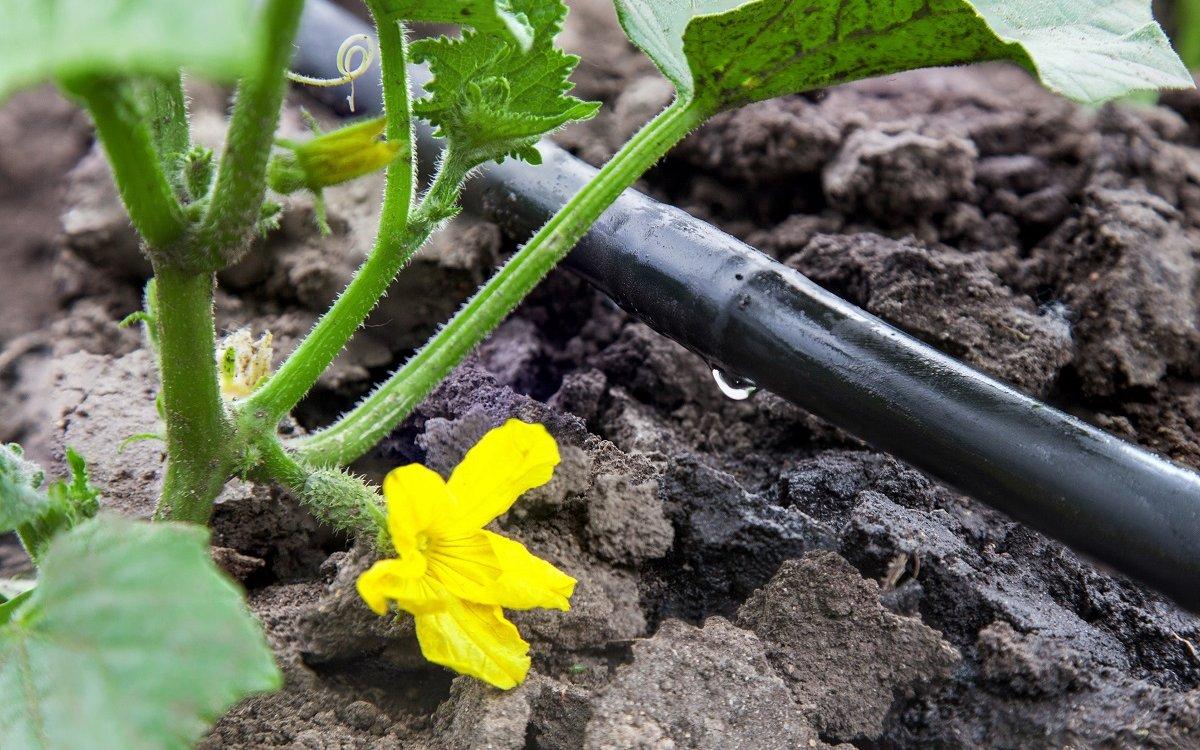 На листья и стволы растений влага не попадает при капельном поливе