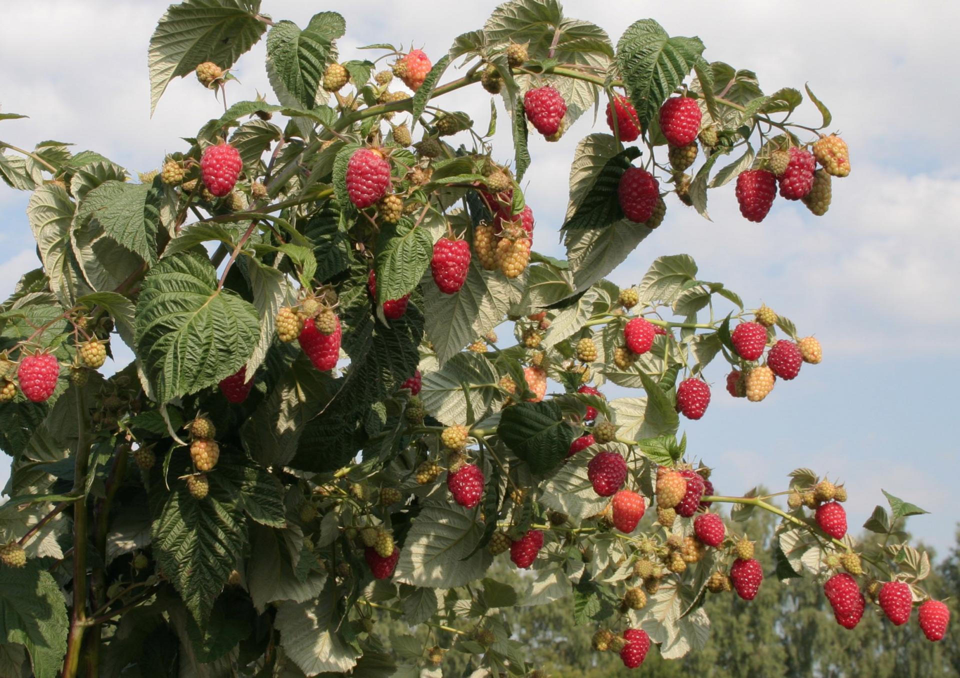 Только к молодой яблоне можно подсадить по соседству малину