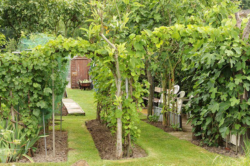 Виноград дружит с плодовыми и ягодными культурами