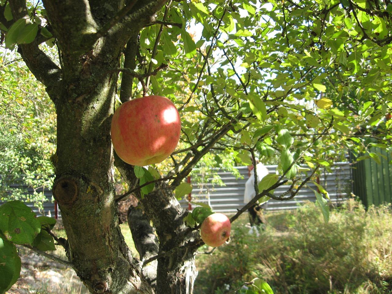 Яблоня на дачном участке