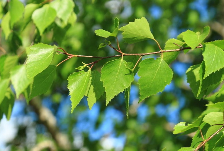 Ветви березы еще без сережек