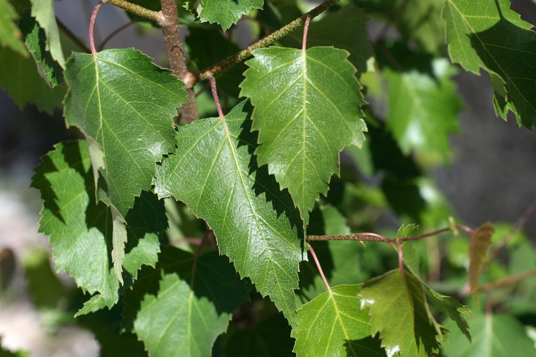 Листья березы насыщенно зеленого цвета