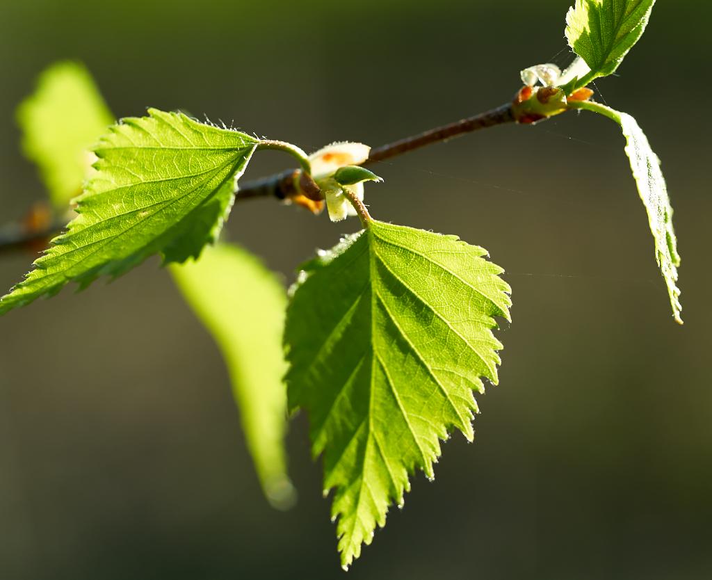 Молодые березовые листья
