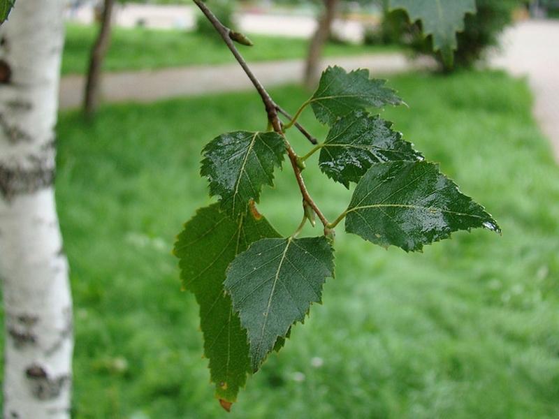Гладкие березовые листья