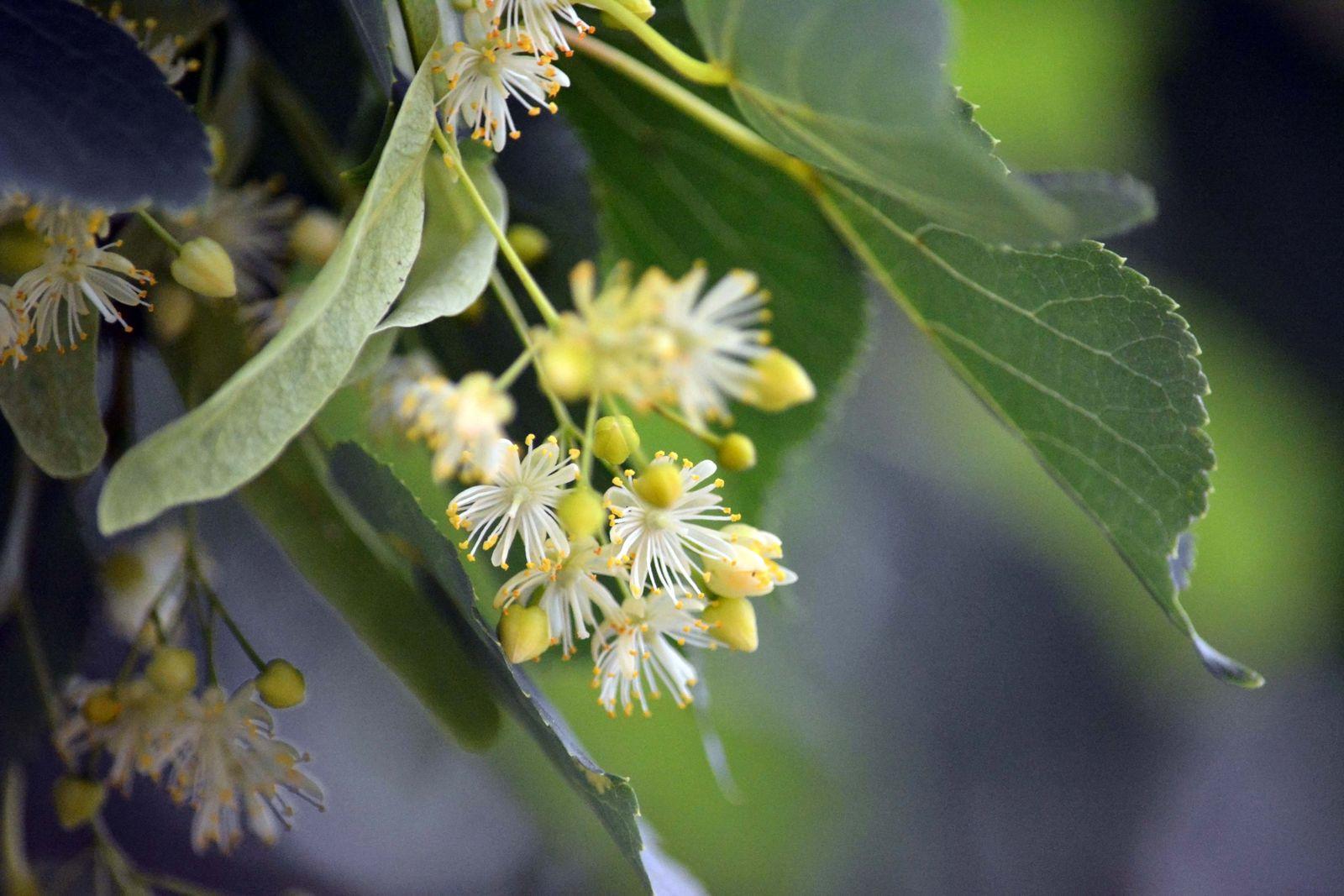Липовые ветви с соцветиями для банного веникаЛиповые веники намного полезнее, если они с соцветиями. Период заготовки таких веников маленький 10-14 дней.