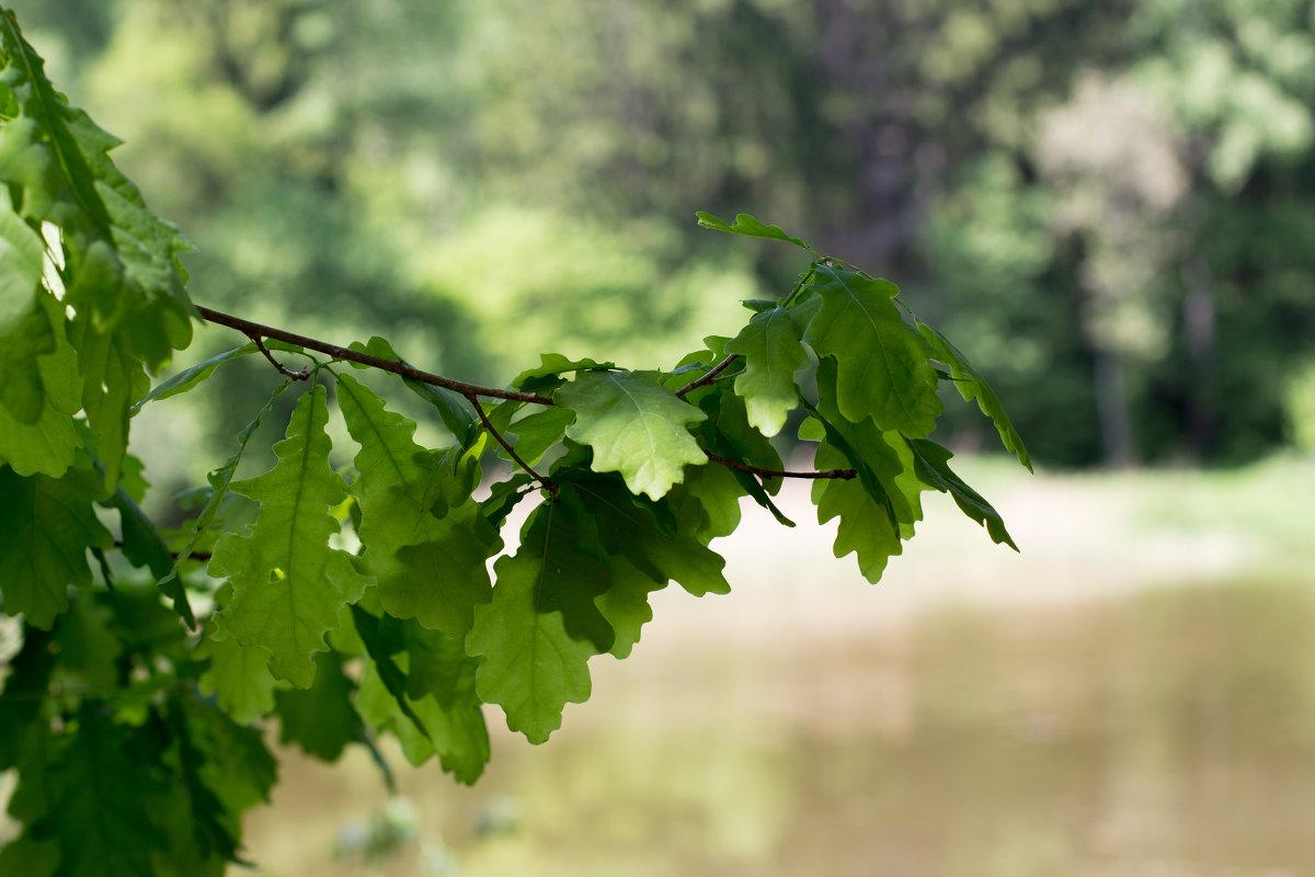 Ветви дуба должны быть молодыми и упругими
