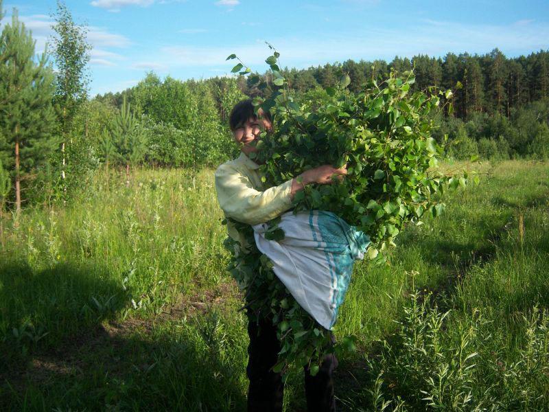 Заготовка ветвей для банного веника