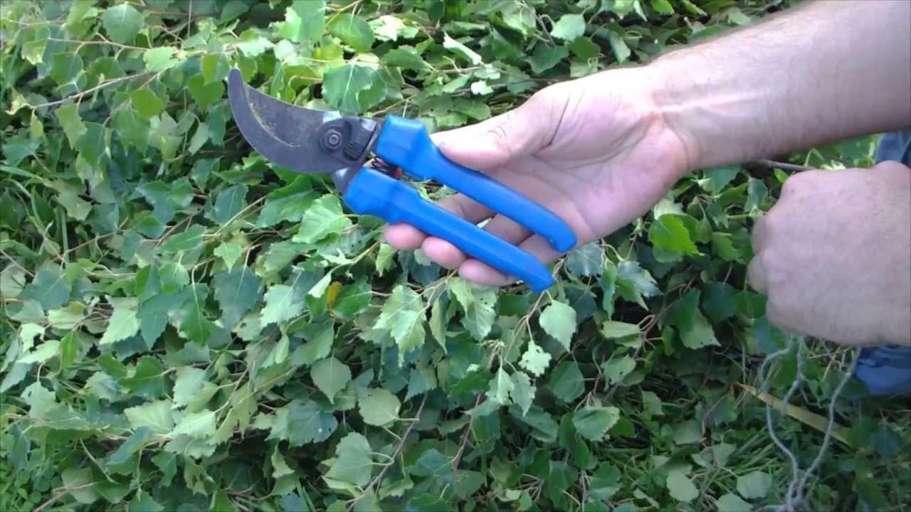 Заготовка березовых веников