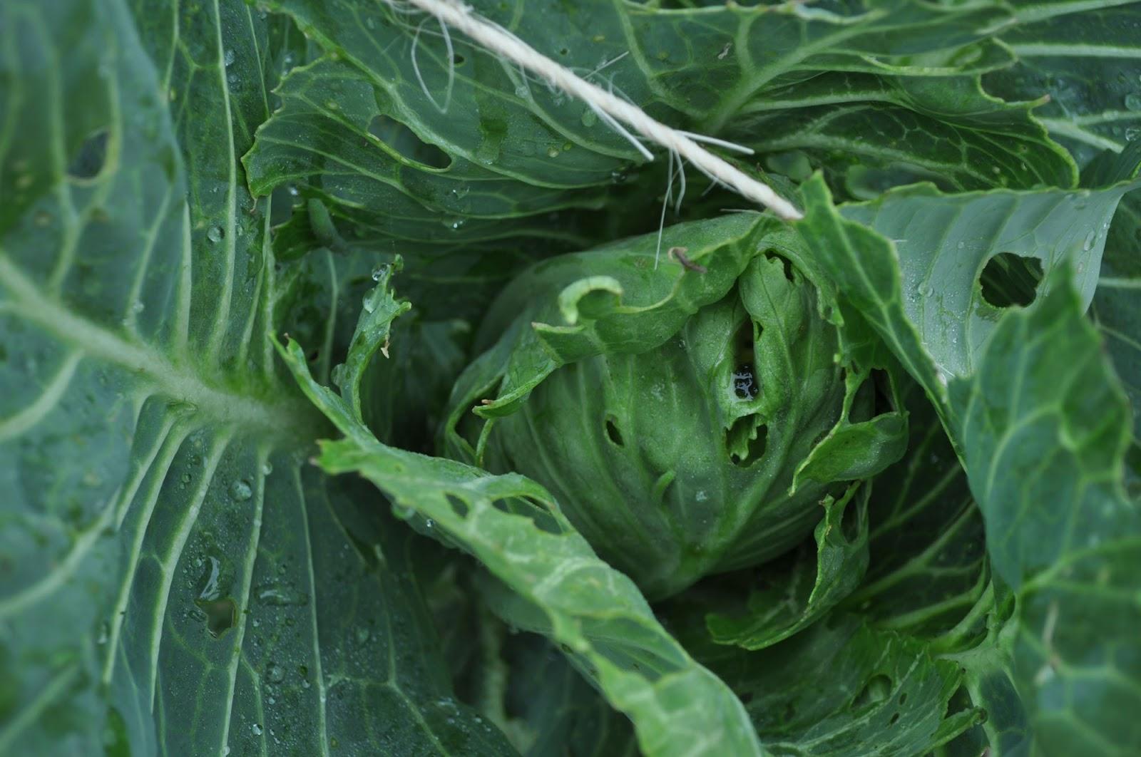 Гусеницы питаются листьями капусты, после себя оставляя рваные дырки