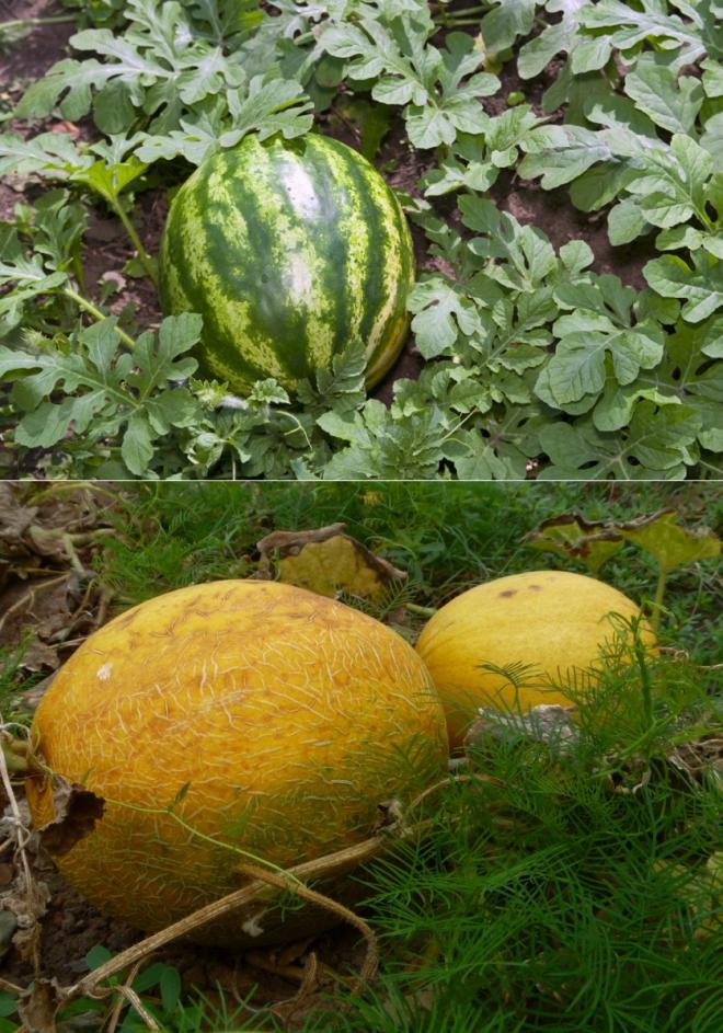 примере сорта арбузов и дынь с фото видно фото, делать