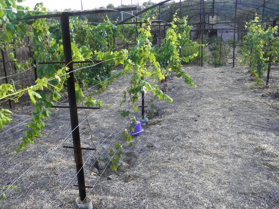 Простая конструкция опоры для винограда с крышей