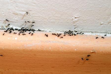 На фото - муравьи-вредители.