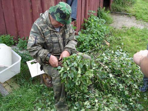 Так происходит заготовка березовых веников для бани