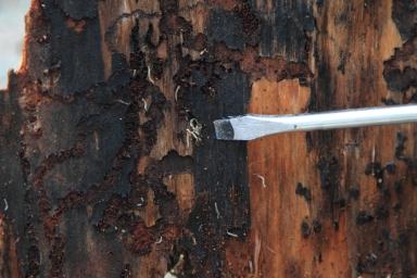 Внешний вид древесины, испорченной насекомыми